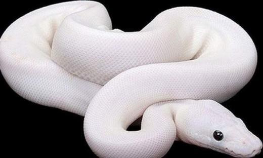 albino sneak