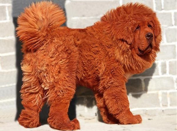 most-expensive-dog-red-tibetan-mastiff