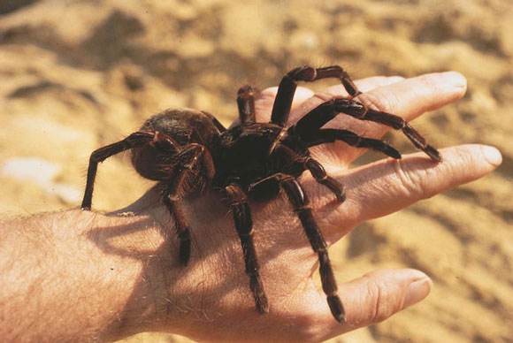 biggest-spider1