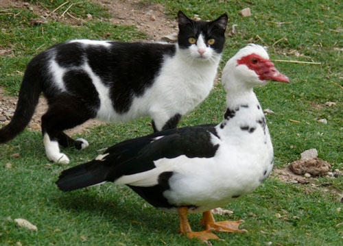 cat-and-duck