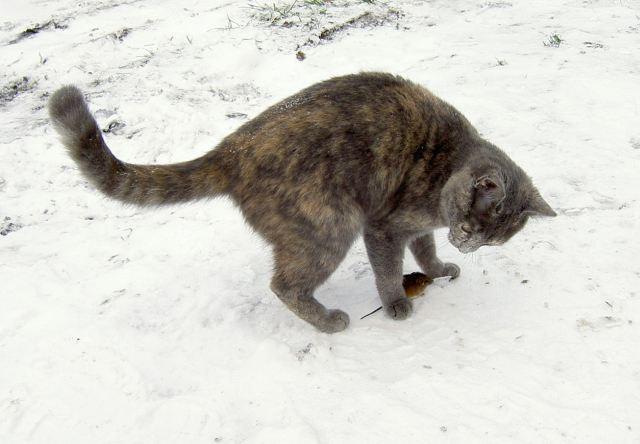 cat hunts
