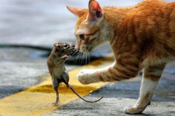 cat mouse1