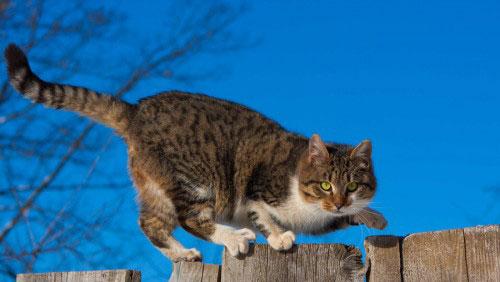 hunting-cat