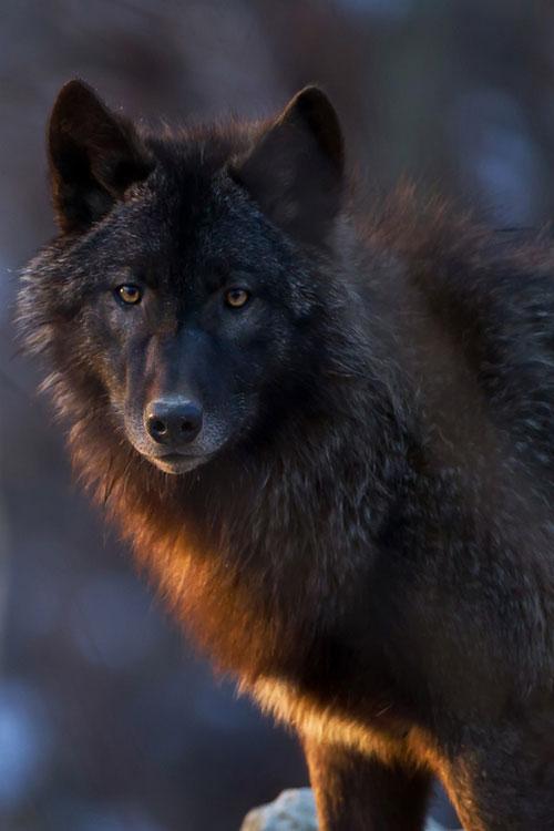 blackwoolf11