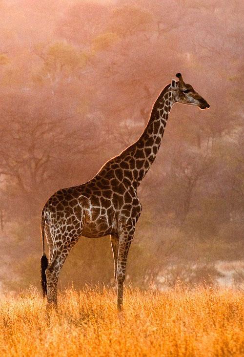 giraffe12