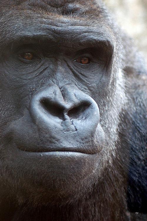 gorilla11