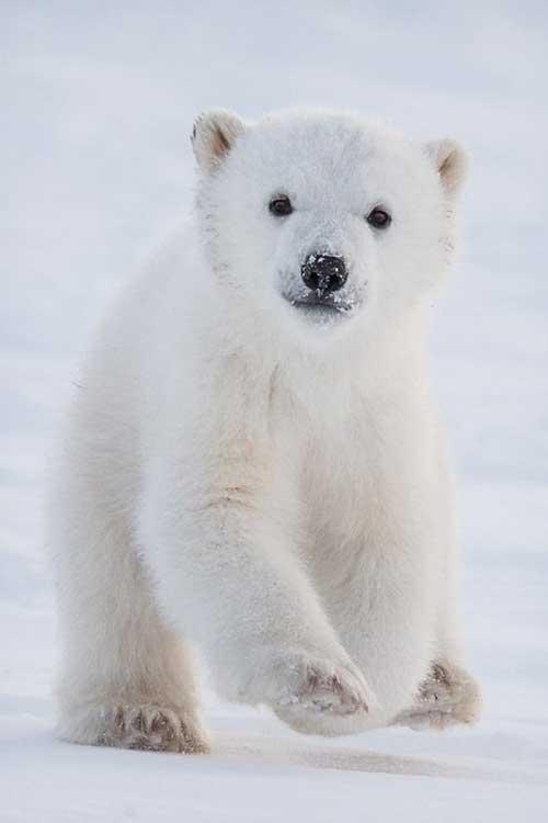 polarbear11