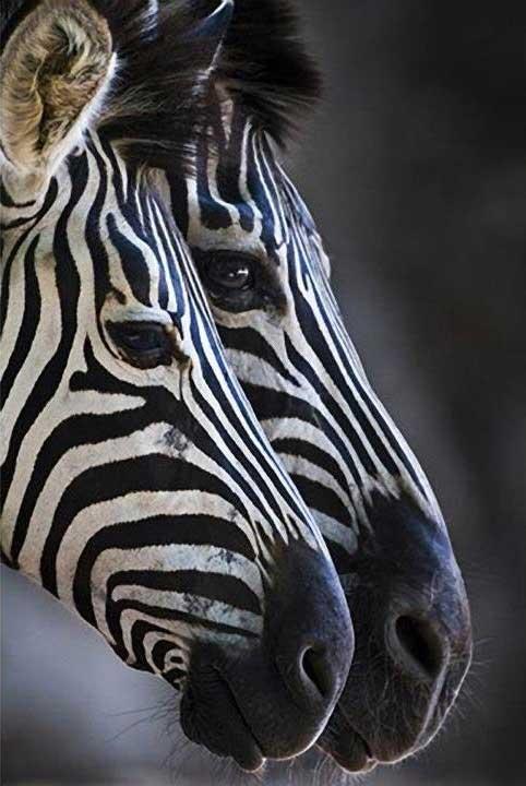 zebras11