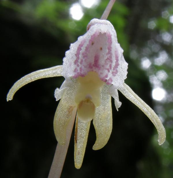 Ghost-Orchid-Japan-Russia