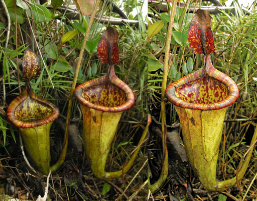 Pitcher-Plant-Philippines