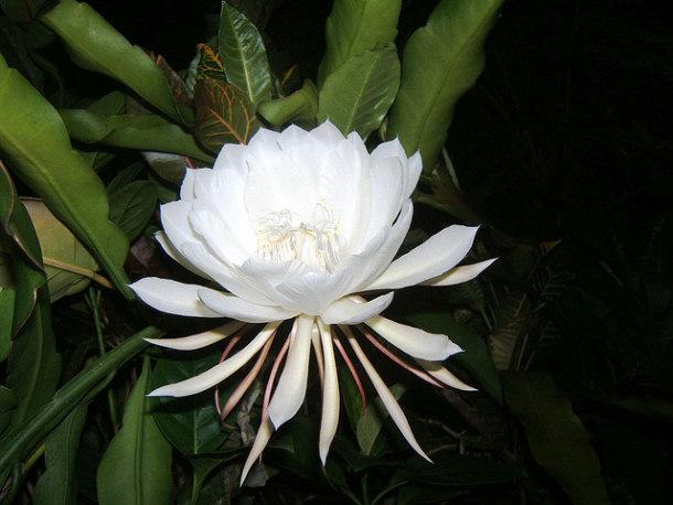kadupul-flower