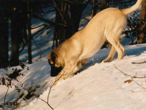 kangal-dog-73c21523-5e04-428a-bf36-8bf71ff23fd4_580x435