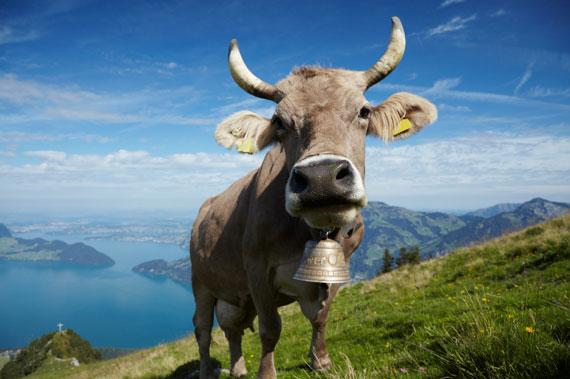 Swiss-Cow