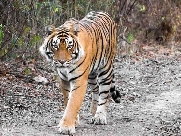 Tiger_Vietnam