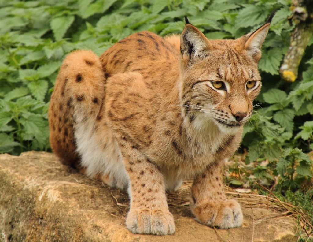 adult lynx
