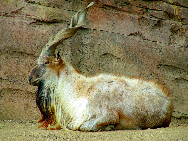 markhor_national_animal_pakistan