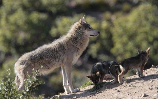 mongolia gray wolf