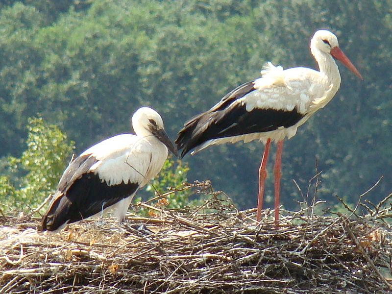 poland stork