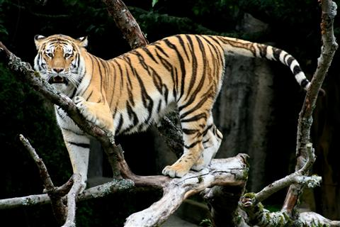 south korea tiger